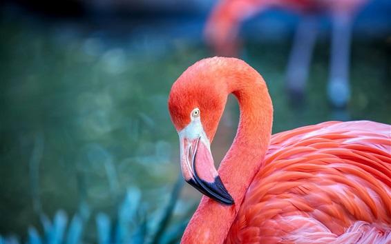Papéis de Parede Penas vermelhas flamingo, bokeh