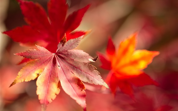 Wallpaper Red maple leaf macro photography, bokeh, autumn