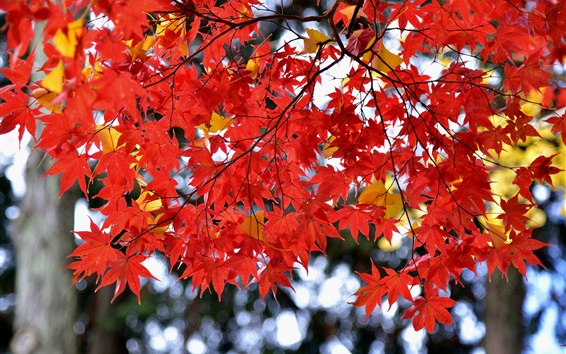 Wallpaper Red maple leaves, autumn, Japan