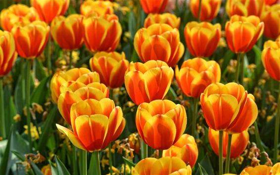 Обои Красно-оранжевые лепестки тюльпанов, весна