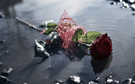 Wallpaper Red rose lost in water, puddle