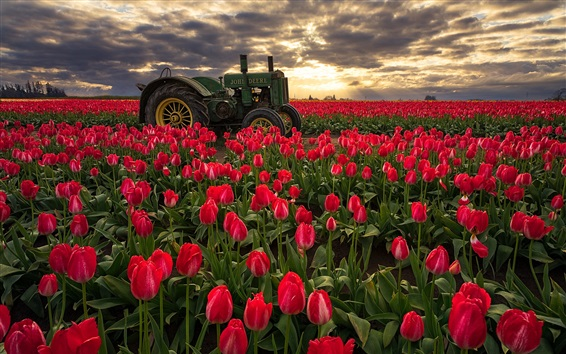 Wallpaper Red tulips fields, morning, sunrise, tractor, Oregon, USA
