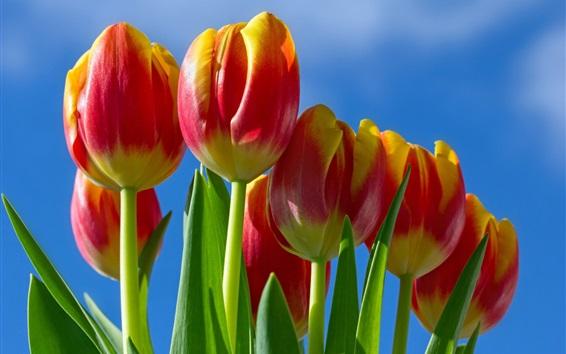 Обои Красно-желтые лепестки тюльпаны цветы, голубое небо