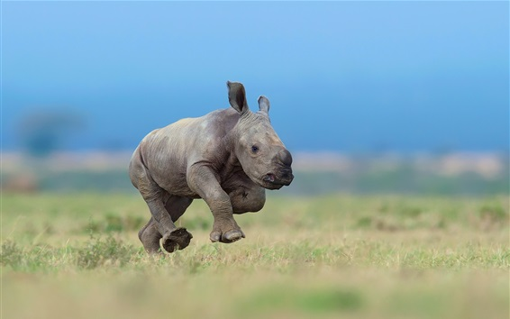 Wallpaper Rhino cub running in the grass