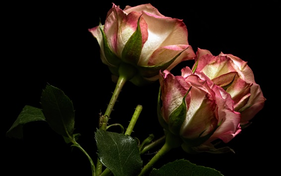 Wallpaper Roses, pink and white petals, black background