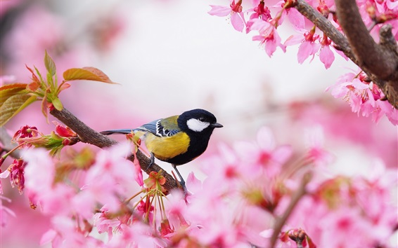 Wallpaper Sakura, pink flowers, bird, tit, spring