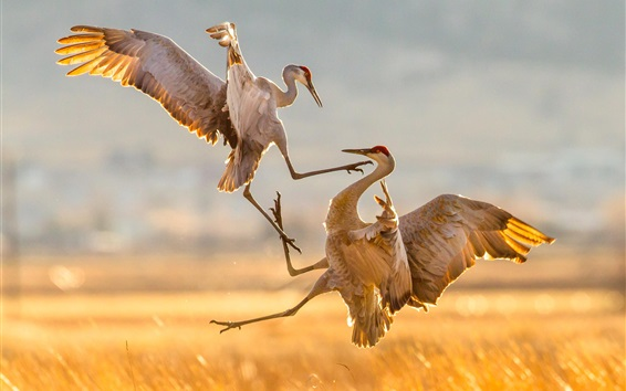 Wallpaper Sandhill cranes dancing