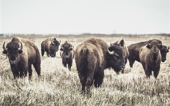 Papéis de Parede Alguns búfalos, grama