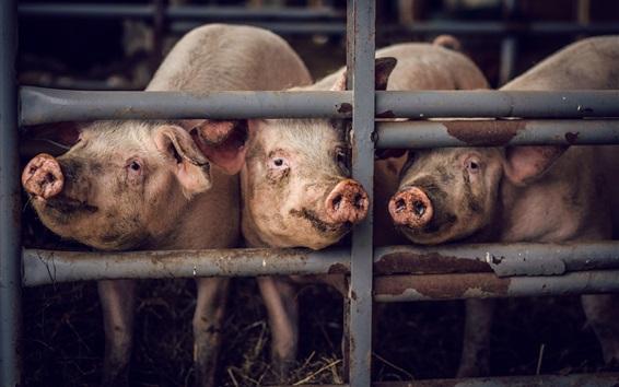 Papéis de Parede Alguns porcos, cerca