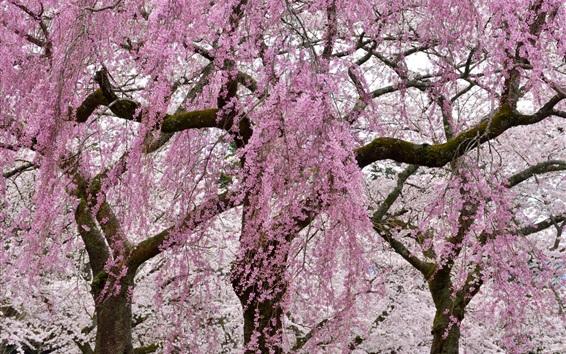 Wallpaper Spring, pink tree flowers flowering