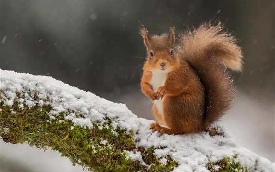 Wallpaper Squirrel in the winter, snow, moss