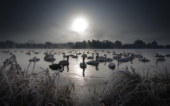 Papéis de Parede Cisnes, lago, neve, inverno, nevoeiro, manhã