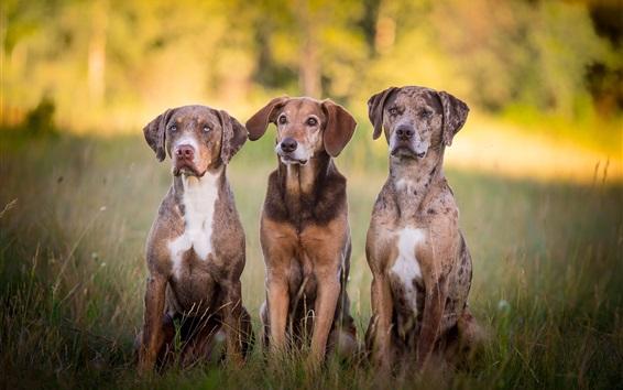 壁紙 3匹の犬が草の上に座る