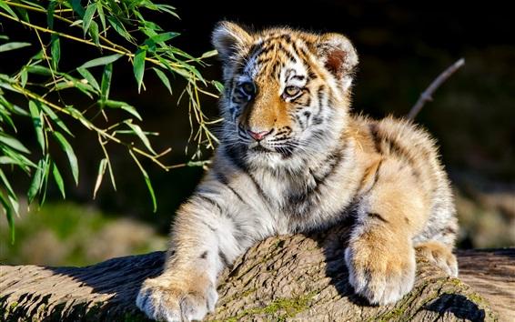 Fondos de pantalla Cachorro de tigre, sol