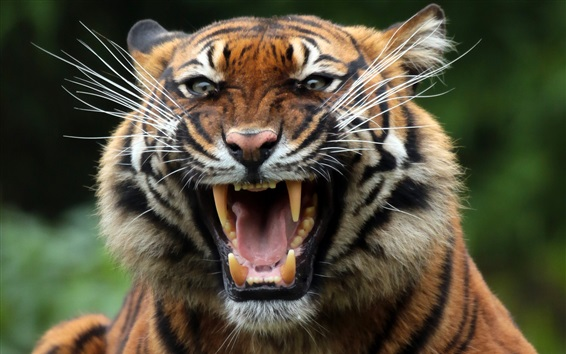 Wallpaper Tiger, fangs, face, mouth, predator