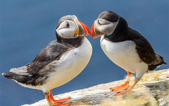 Papéis de Parede Dois pássaros, casal, skua