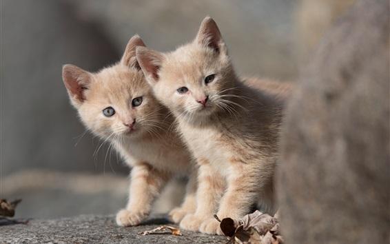 Wallpaper Two kittens, twins