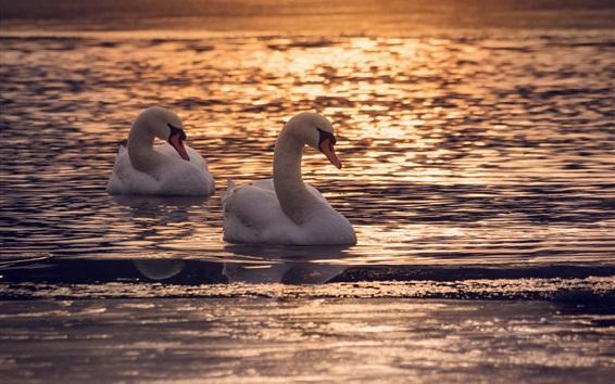 Papéis de Parede Dois, cisnes, em, água, lago, pôr do sol