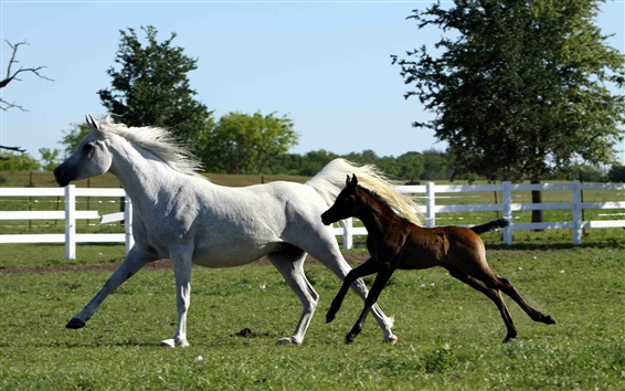 Wallpaper White and brown horses