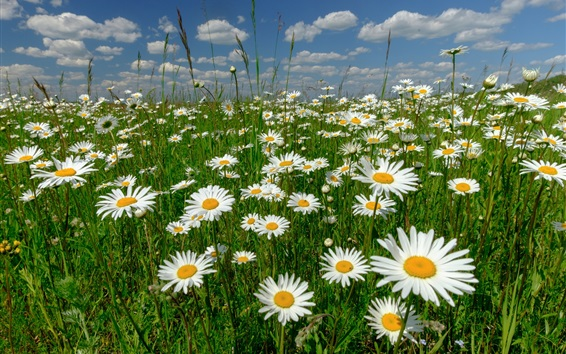 Wallpaper White chamomile flowers, meadow