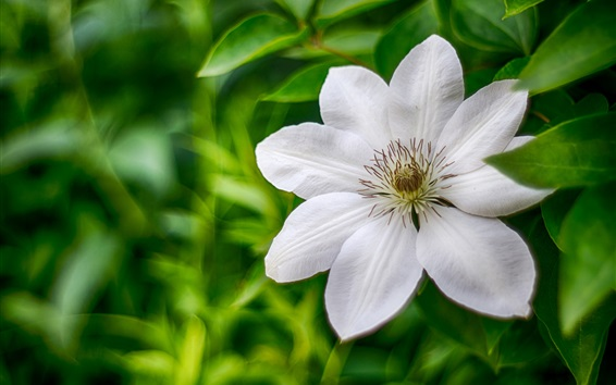 Wallpaper White clematis, flower macro photography, petals