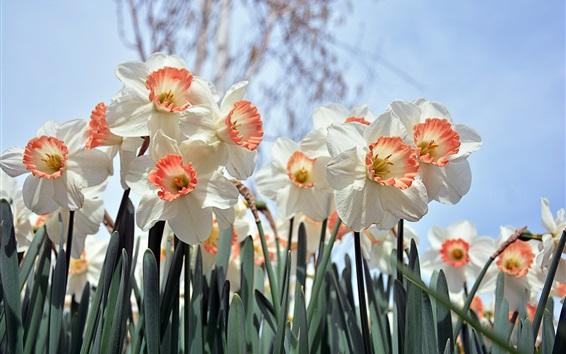 Papéis de Parede Narcisos brancos floração, Primavera