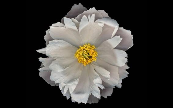 Обои Белый цветок крупным планом, черный фон