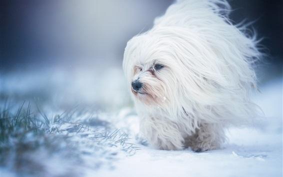 Wallpaper White furry dog, snow, winter