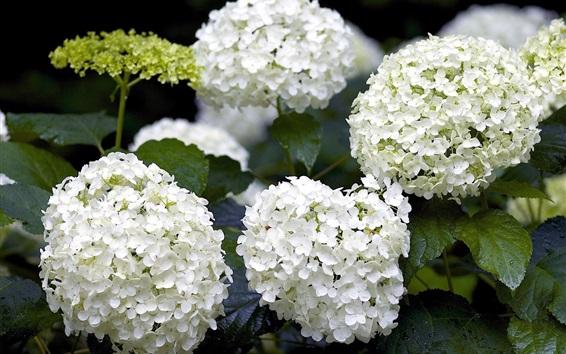 배경 화면 흰색 수국 꽃