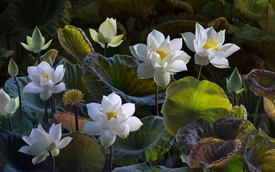 Wallpaper White lotus, beautiful flowers, green leaves