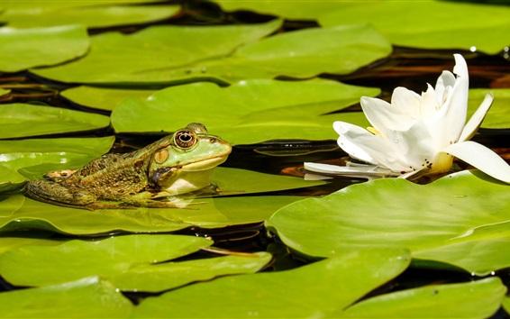 Wallpaper White lotus, green leaves, frog, pond