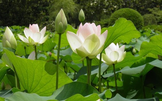 Wallpaper White lotus, green leaves