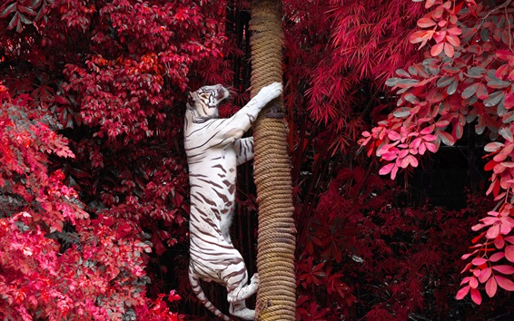 Wallpaper White tiger climb tree, red leaves