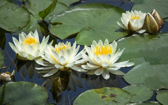 Wallpaper White water lilies, flowers, leaves, pond