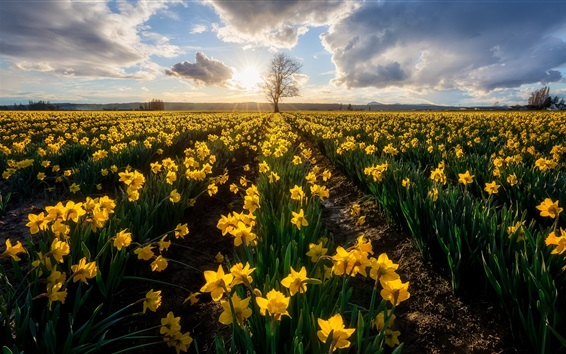 Wallpaper Yellow daffodils, morning, flowers field, sunrise