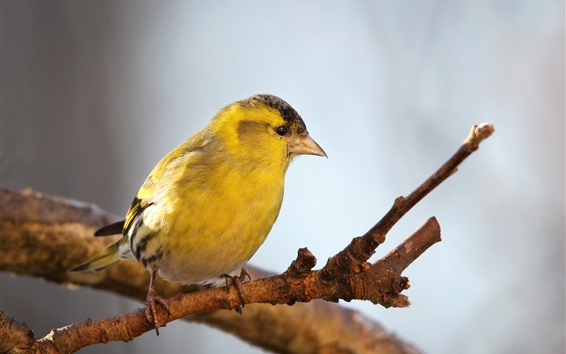 Fond d'écran Oiseau de plumes jaunes, brindilles