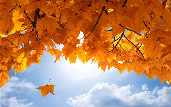 Wallpaper Yellow maple leaves, sky, clouds