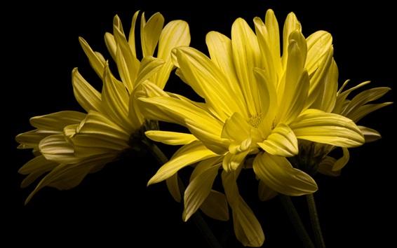 Wallpaper Yellow petals flowers, chamomile