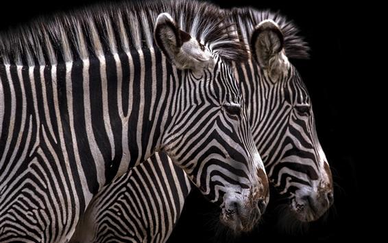 Wallpaper Zebra, stripes, black background