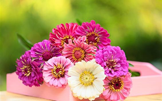 Wallpaper Zinnia flowers, pink, white, purple, red