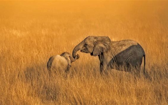 Papéis de Parede Amboseli, kenya, parque nacional, elefantes, família, capim