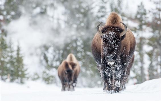 Papéis de Parede Animais, búfalo no inverno, neve