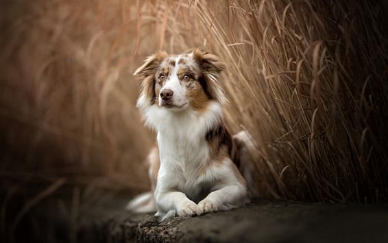 Papéis de Parede Pastor australiano, cão, descanso, juncos