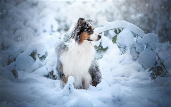 Wallpaper Australian shepherd dog, snow, winter