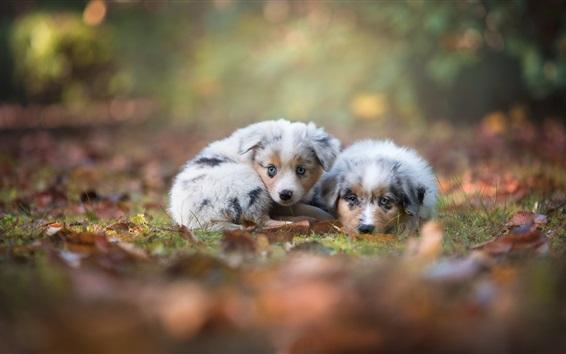 Wallpaper Australian shepherd, two cute puppies