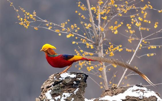 Обои Красивый фазан, длинный хвост, деревья