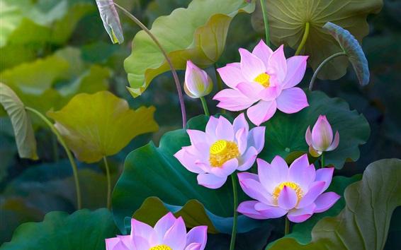 Wallpaper Beautiful pink lotus, painting style