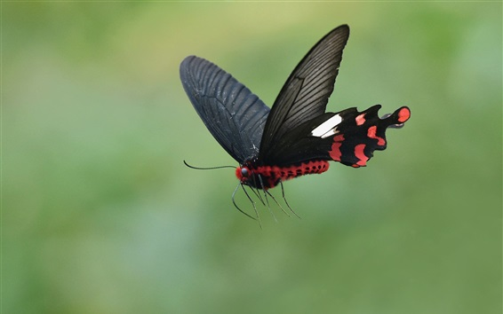 Wallpaper Black butterfly flying, wings, insect
