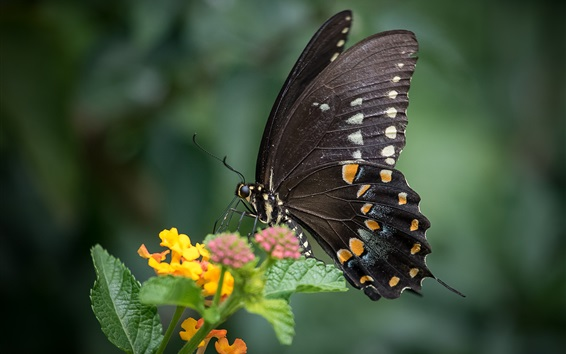Wallpaper Black butterfly, wings, insect, yellow flowers