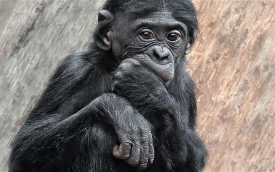 Wallpaper Black monkey look at you